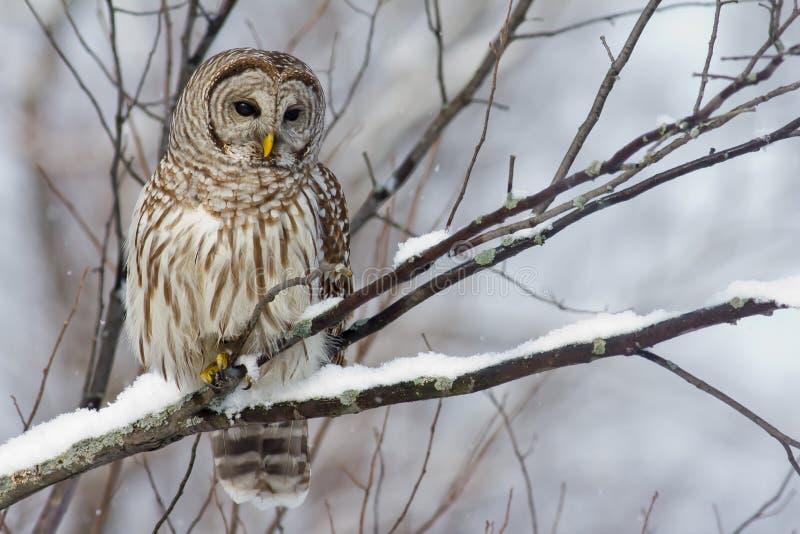 Hibou barré sur un branchement neigeux. photographie stock