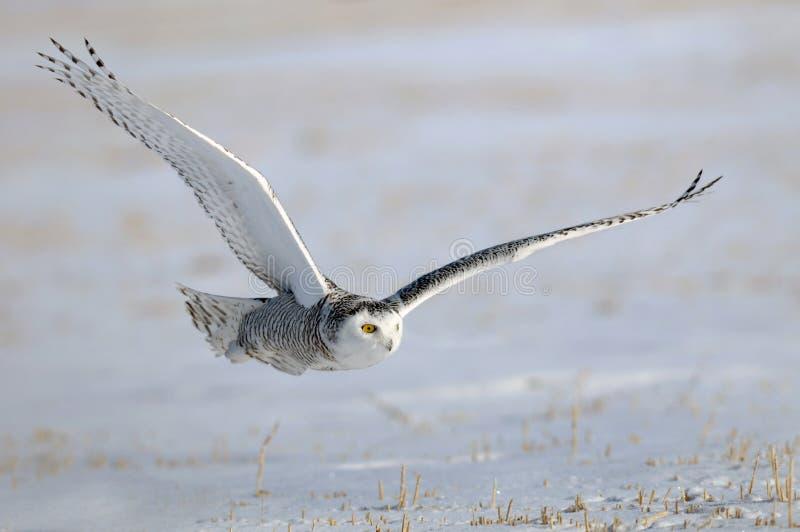 Hibou blanc de Milou de l'hiver en vol