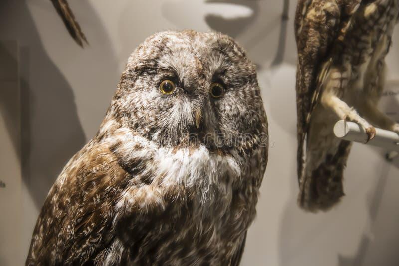 Hibou bourré au musée de Harvard de l'histoire naturelle, Boston, le Massachusetts images libres de droits
