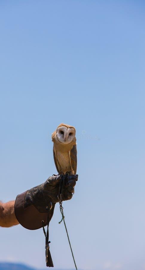 Hibou d'alba-grange de Tyto photographie stock libre de droits