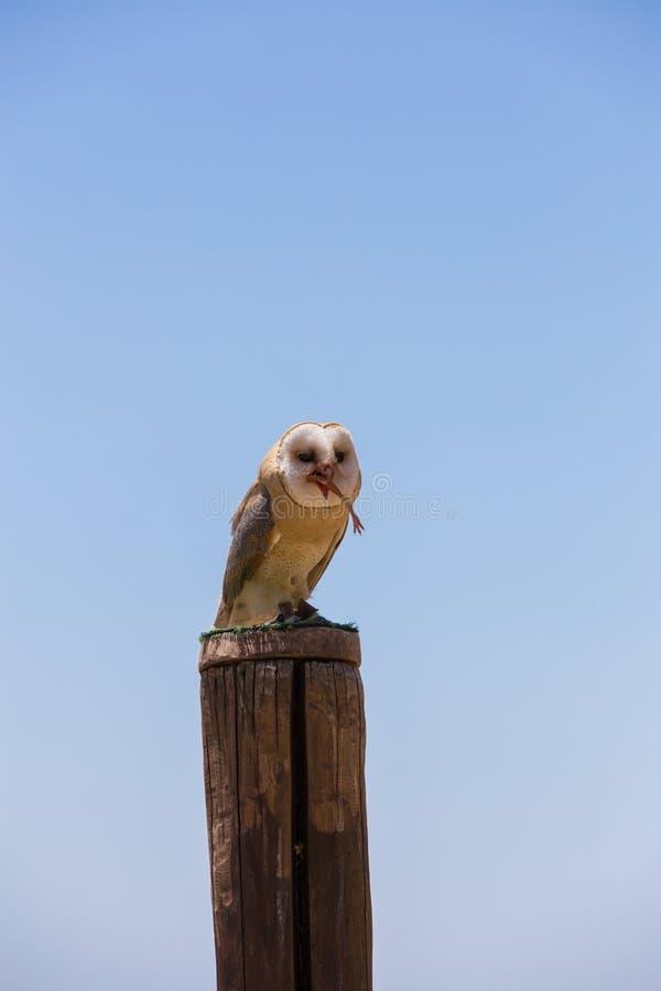 Hibou d'alba-grange de Tyto images libres de droits