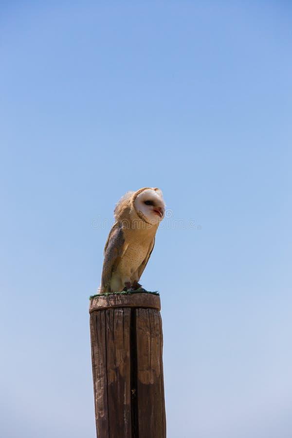 Hibou d'alba-grange de Tyto photo libre de droits