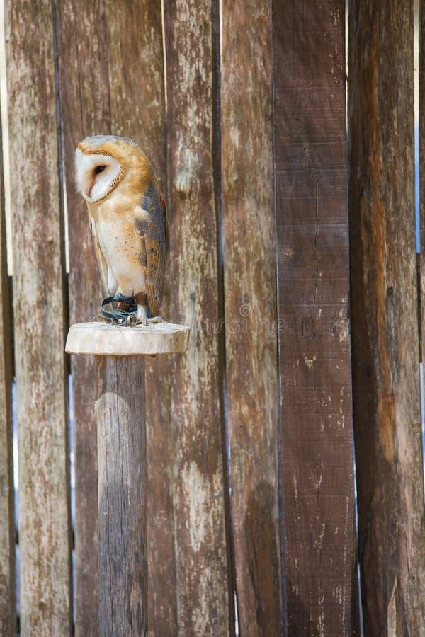 Hibou d'alba-grange de Tyto image libre de droits