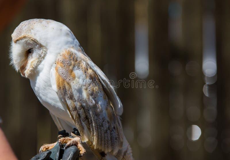 Hibou d'alba-grange de Tyto photos stock