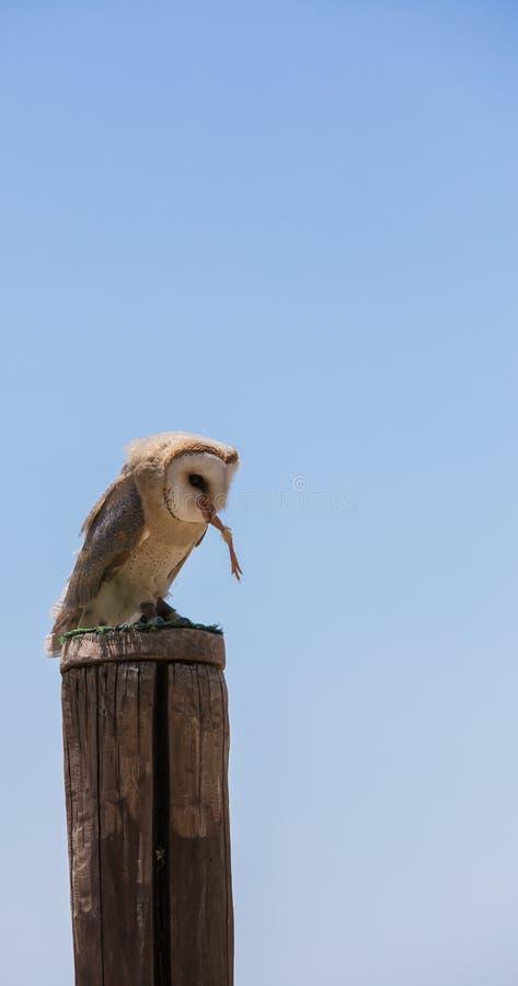 Hibou d'alba-grange de Tyto photos libres de droits