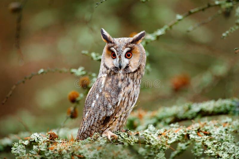 Hibou dans l'habitat en bois de nature de nature Oiseau se reposant sur l'arbre, longues oreilles Chasse de hibou Physodes verts  image libre de droits