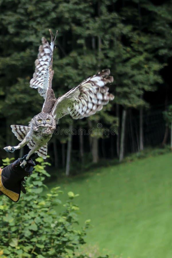 Hibou de Brown, fauconnerie, Vorarlberg, Autriche photo stock