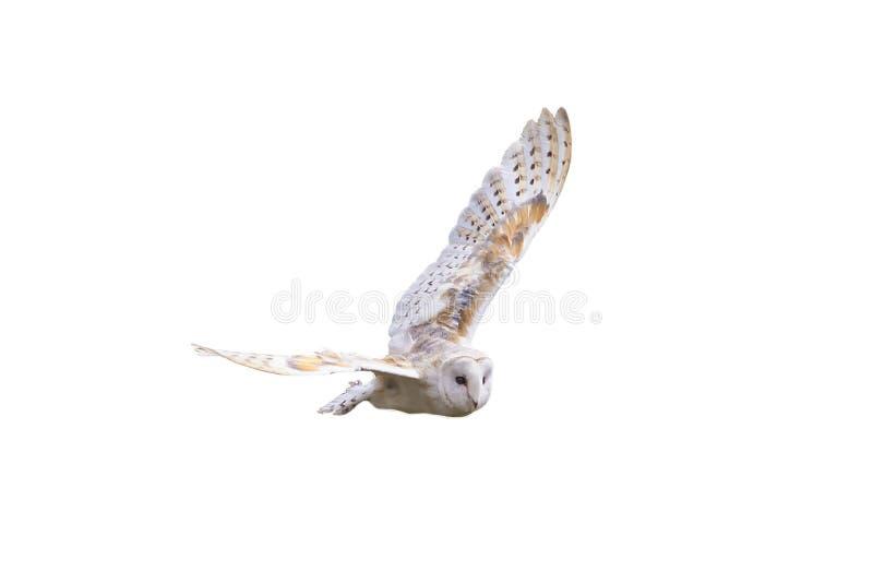 Hibou de grange avec le vol écarté d'ailes photo stock
