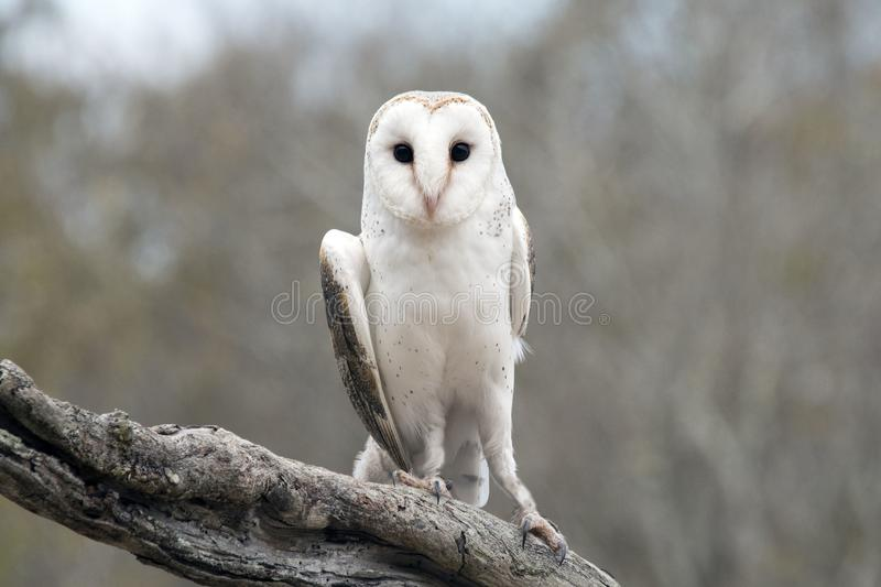 Hibou de grange commun (Tyto alba) photos stock