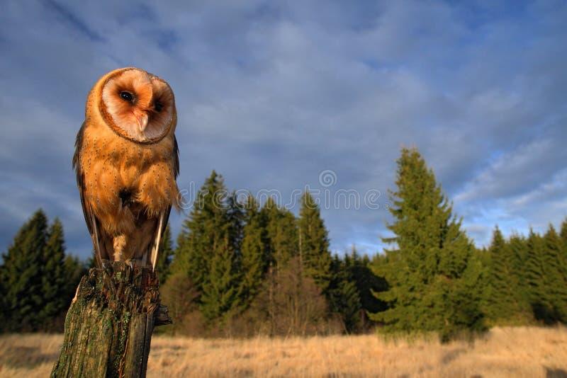 Hibou de grange se reposant sur le tronçon d'arbre dans la forêt à la soirée - photo avec la lentille large comprenant le habitad photographie stock