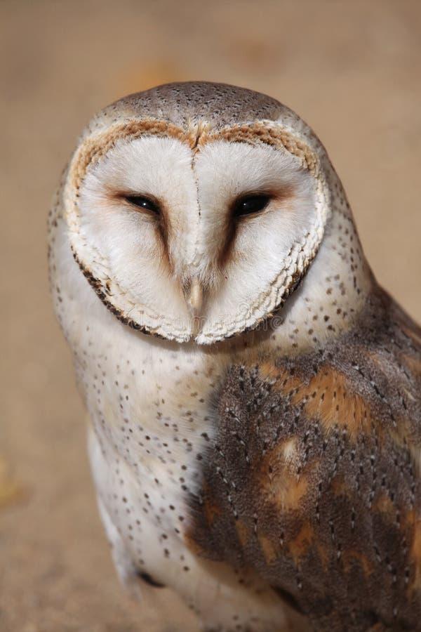Hibou de grange (Tyto alba) images stock