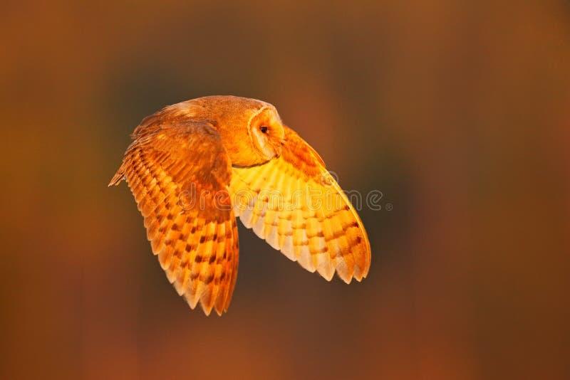 Hibou de grange de vol Soirée d'automne avec le hibou Hibou de grange gentil de débarquement dans la lumière orange gentille Forê photos libres de droits