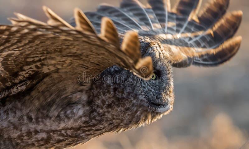 Hibou de gris grand images libres de droits