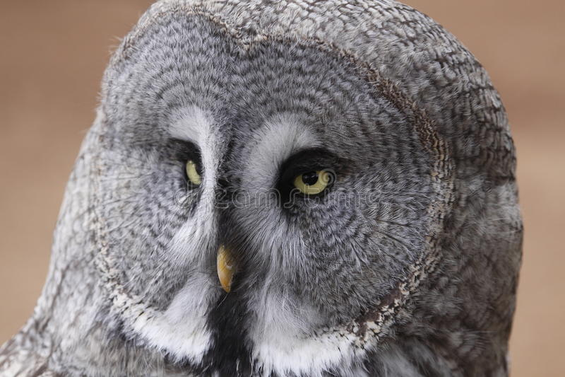 Hibou de gris grand images stock