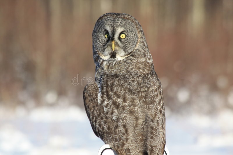 Hibou de gris grand photo libre de droits