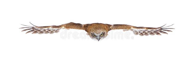 Hibou de la Nouvelle Zélande (3 ans) photographie stock libre de droits