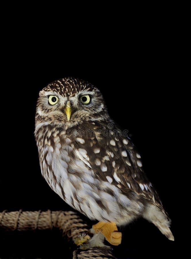 Hibou de nuit photographie stock
