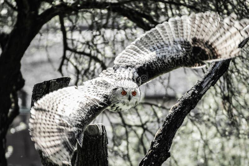 Hibou en vol noir et blanc images stock