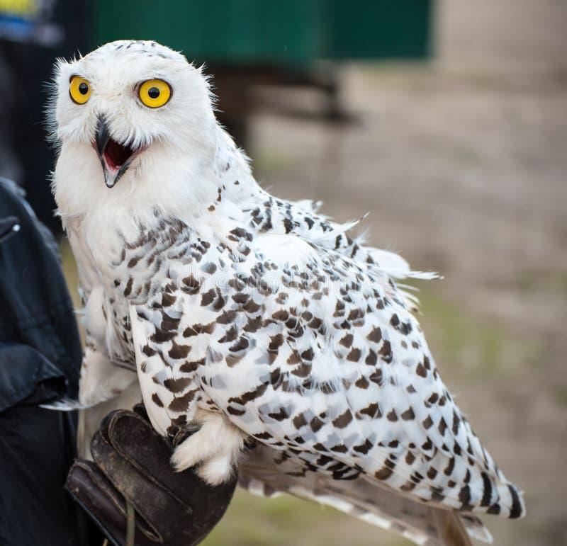Hibou enthousiaste de neige sur la main du fauconnier image stock