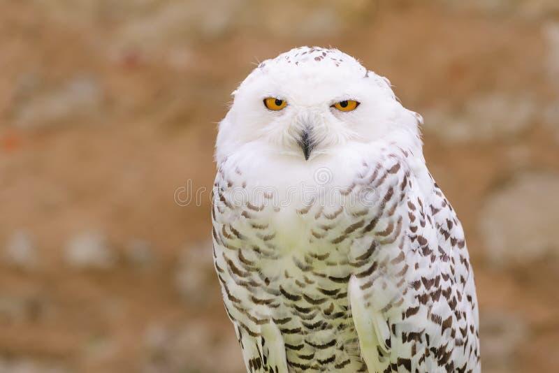 Hibou neigeux blanc d'oiseau silencieux sauvage de rapace image stock