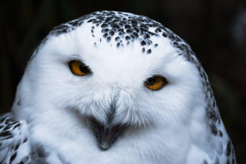 Hibou neigeux blanc semblant sage avec le grand portrait orange de yeux photographie stock libre de droits