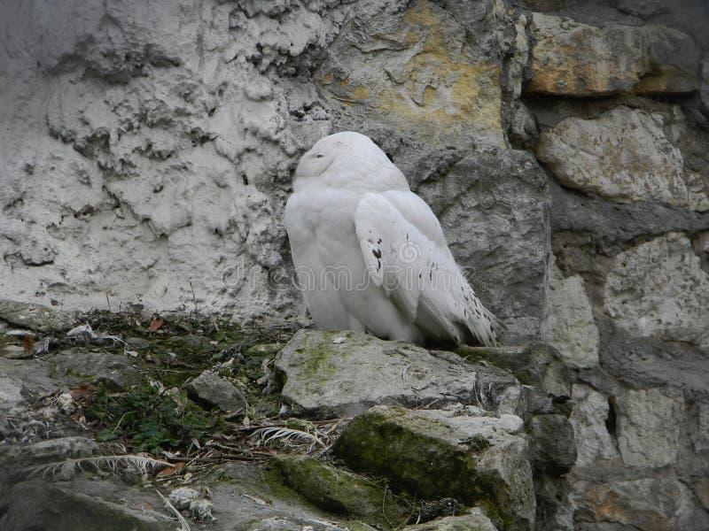 Hibou polaire photographie stock libre de droits