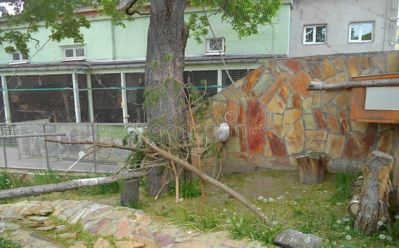 Hibou polaire se reposant sur une perche sous un arbre image stock