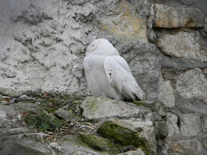 Hibou polaire sur la roche images libres de droits