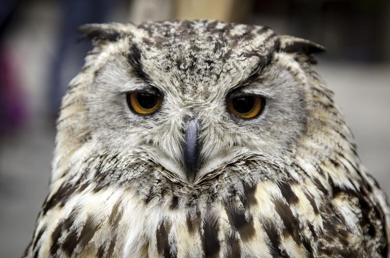 Hibou royal photos libres de droits