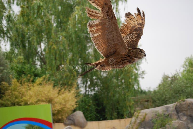 Hibou royal en vol photographie stock libre de droits
