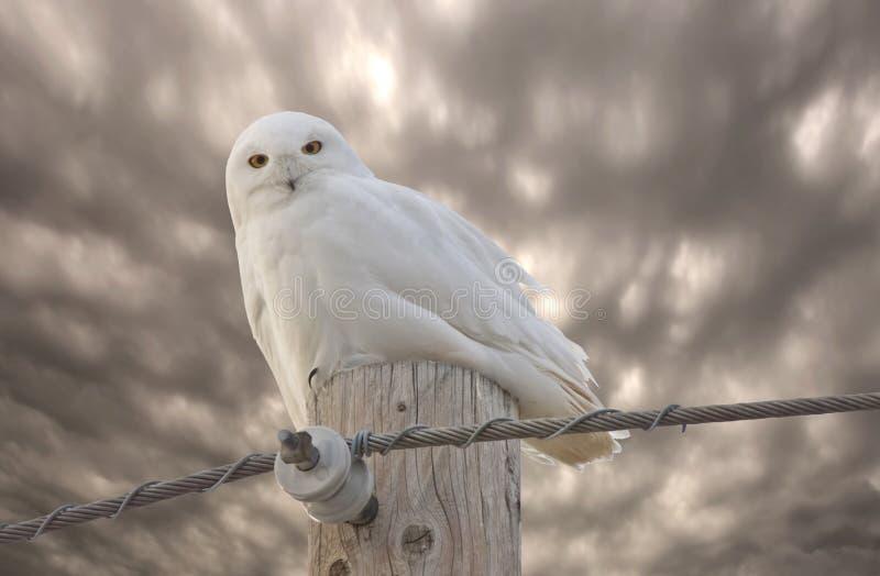 Hibou Saskatchewan Canada de Milou images stock