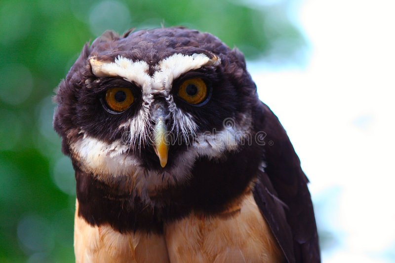 Hibou Spectacled 10 images stock