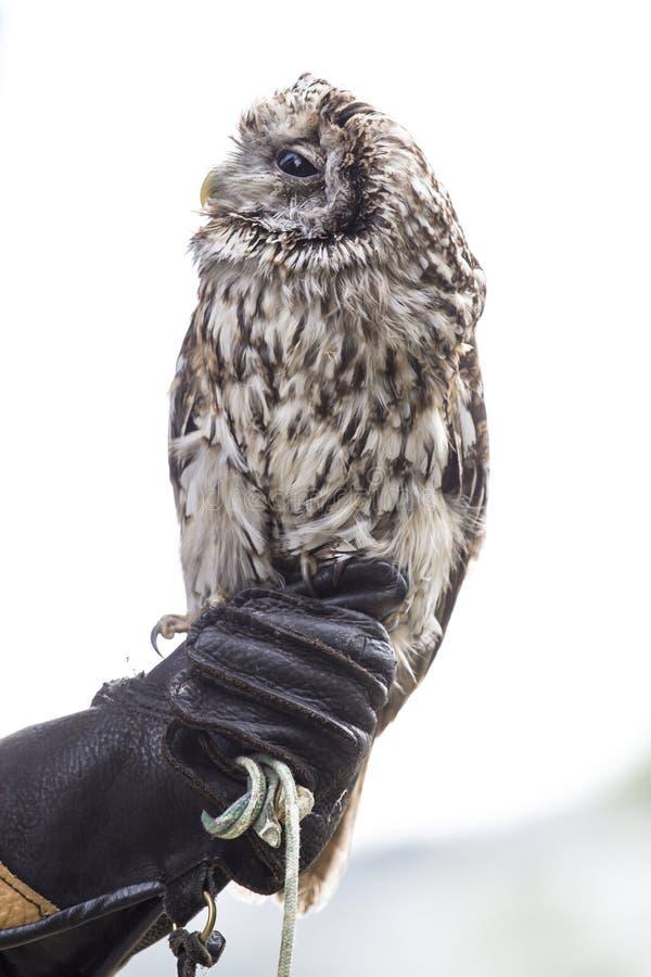 Hibou sur la main d'un fauconnier images libres de droits