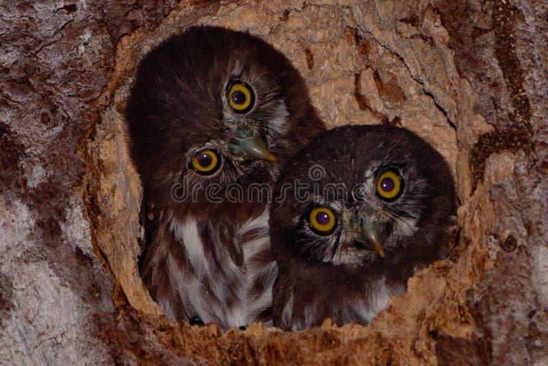 Hiboux pygméens, Trinidad image libre de droits