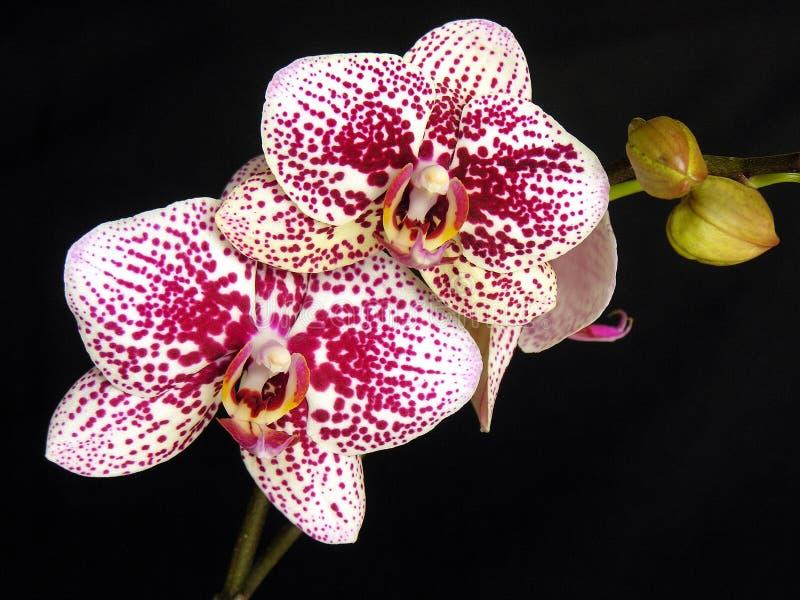 hibrid兰花植物 库存照片