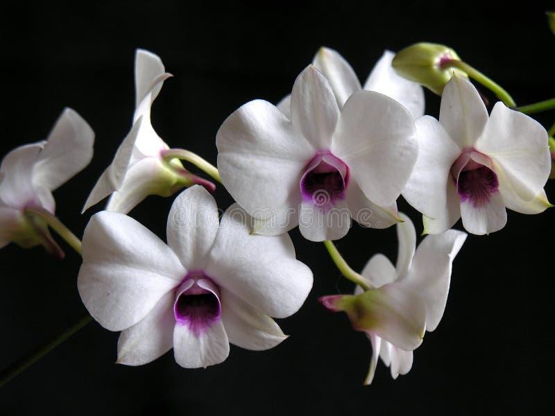 Hibrid Orchidee lizenzfreies stockbild