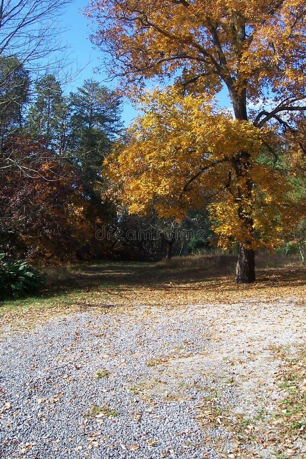 Hickory Tree In Fall 2 Free Public Domain Cc0 Image