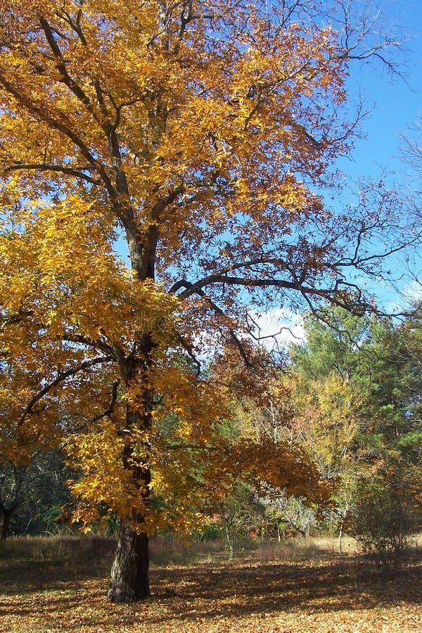 Hickory Tree In Fall 3 Free Public Domain Cc0 Image