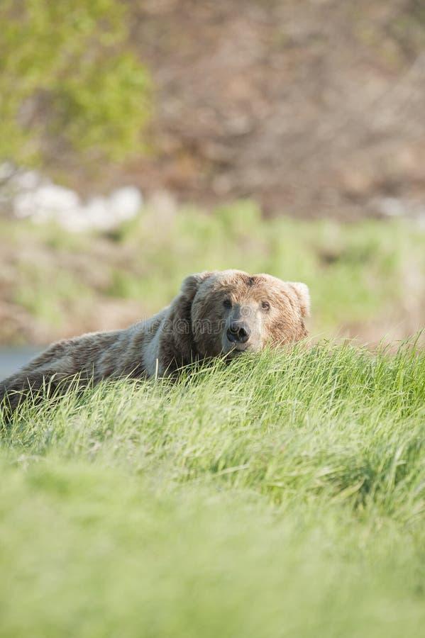 Hidden Bear Royalty Free Stock Image