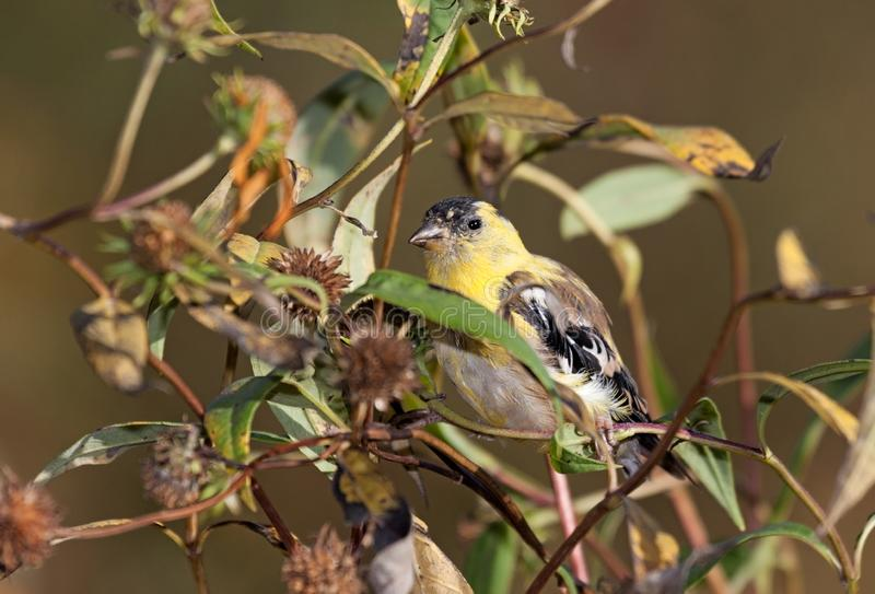 Hidden Goldfinch Hidden in Sunflowers stock images