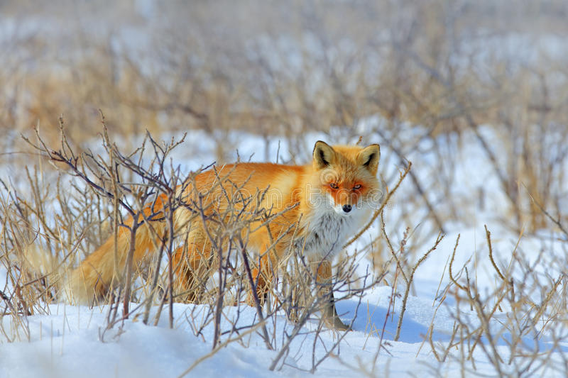 Hidden Red Fox, Vulpes vulpes, at snow winter. Wildlife scene from nature. Cold winter with beautiful fox. Orange fur coat animal. In snow royalty free stock image