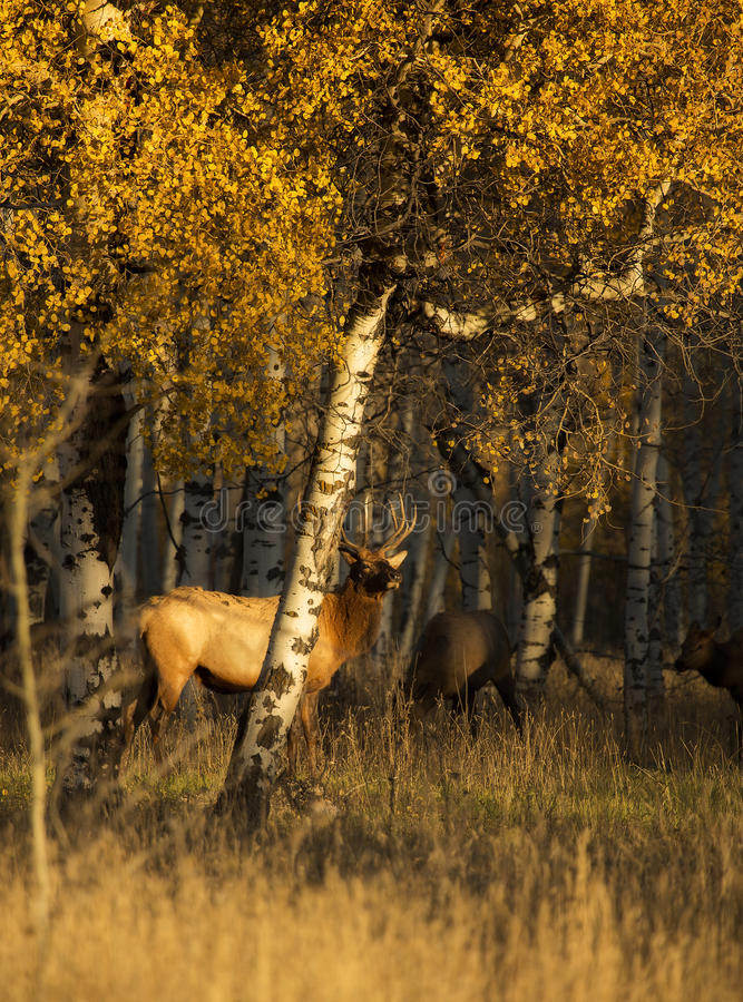 Hidden Within. A small herd of elk takes shelter underneath a grove of aspens just outside of Grand Teton National Park, Wyoming stock photo