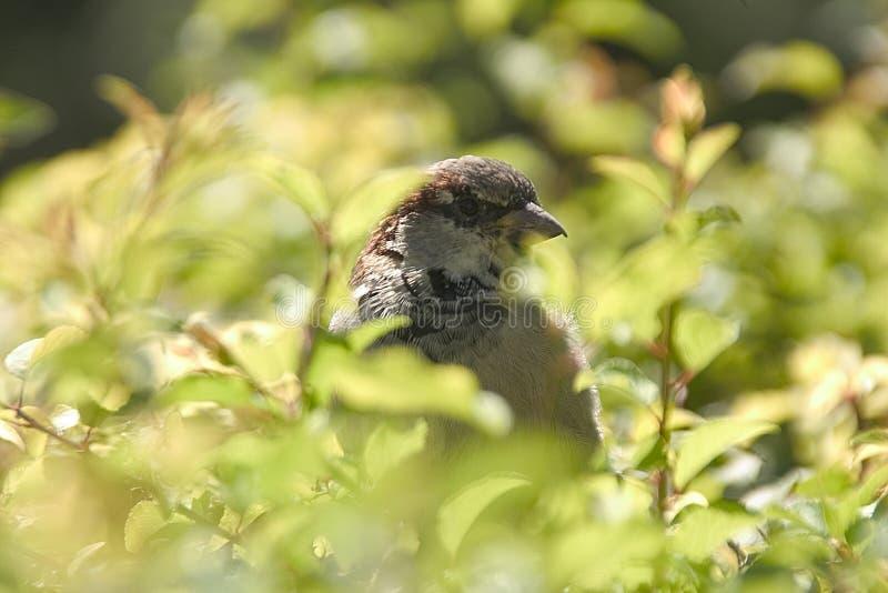Hidden Sparrow Stock Photography