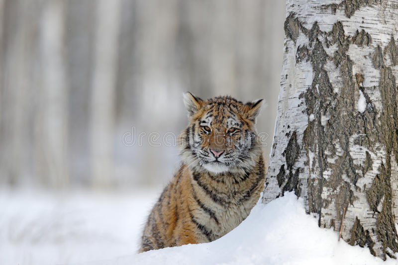 Hidden tiger with snowy face. Tiger in wild winter nature. Amur tiger running in the snow. Action wildlife scene, danger animal. C. Hidden tiger with snowy face royalty free stock photo