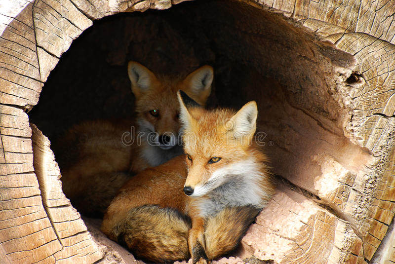Hidden Twin Foxes royalty free stock photography