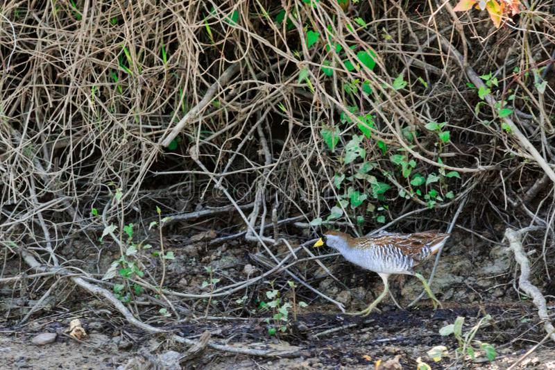 Hide!!. The very elusive Sora running through the brush of Bald Knob Wildlife Refuge in Bald Knob, Arkansas 2017 stock photos