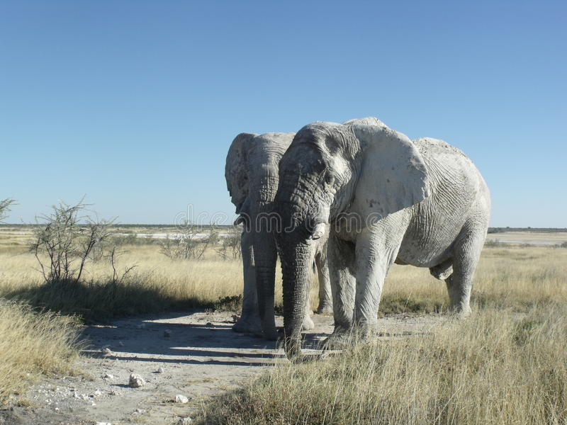 Two elephants standing in Etosha Namibia royalty free stock images