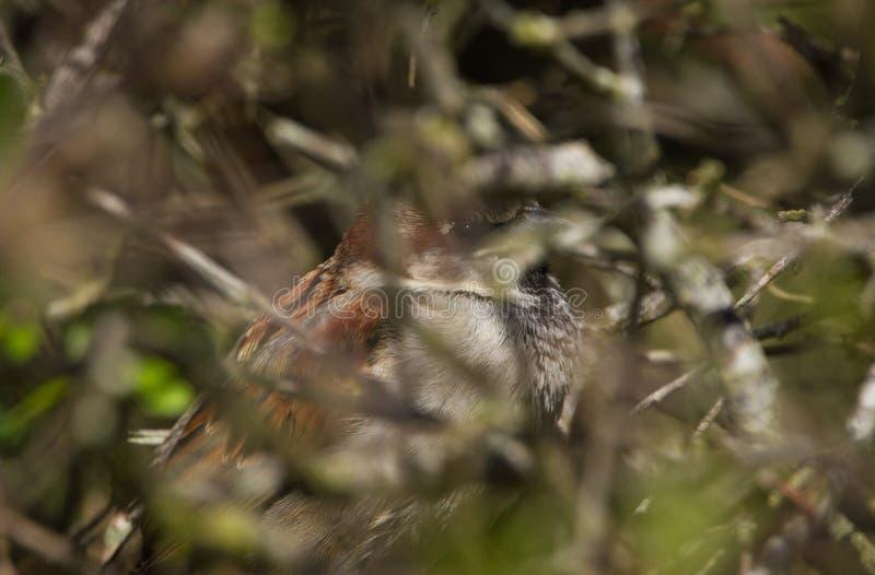 Hiding in the bushes. Bidding hidding hiding bushes bird animal  wlife wild photography birding sparow sparrow branch cute european feather garden gardening stock photos