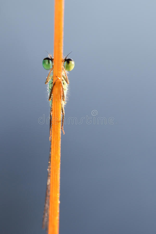 Download Hiding Damselfly Royalty Free Stock Photos - Image: 26030898