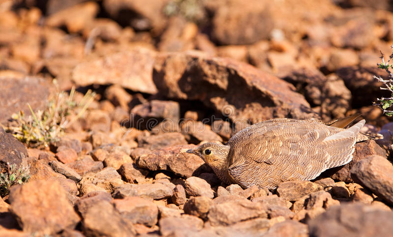 A Hiding Four-banded Sandgrouse Stock Image